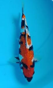 461-Duta-Blitar-ZNA Blitar-Blitar-Ginrin A-25 cm-Female