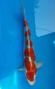 449-Hapsaro koi-tangerang-plat ag-kediri-gosiki-44cm-male