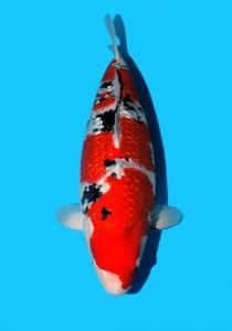 094-Wibisono - Bali -Ginrin Sanke 60 cm - Import - female - Handling Gading Koi Centre