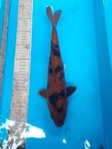 418-Quin Koi-blitar-BKI-blitar-kawarimono-33cm-male